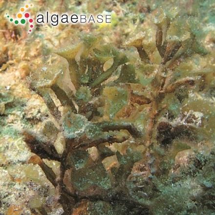Achnanthes clevei Grunow