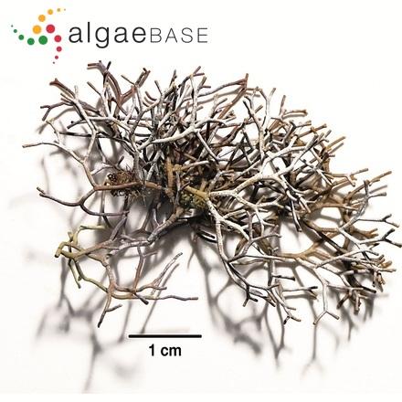 Achnanthes coarctata (Brébisson ex W.Smith) Grunow