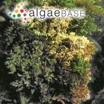 Halimeda opuntia f. typica (Linnaeus) J.Agardh
