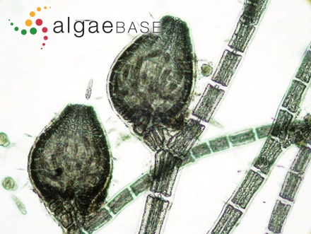 Achnanthes lanceolata var. dubia Grunow