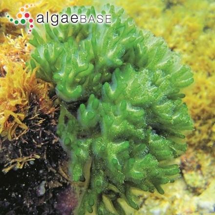 Achnanthes lapidosa var. chiliensis (Krasske) Lange-Bertalot