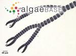 Ceramium brasiliense A.B.Joly
