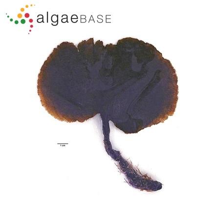 Achnanthes multiarticulata C.Agardh