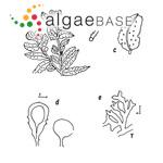 Sargassum polyceratium Montagne
