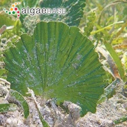 Achnanthes oblongella Østrup