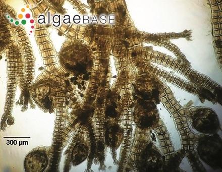Achnanthes ploenensis Hustedt
