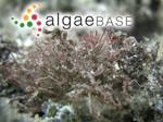 Actinotrichia fragilis (Forsskål) Børgesen