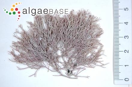 Haematophloea crouaniorum (J.Agardh) P.Crouan & H.Crouan