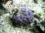 Hydrolithon reinboldii (Weber Bosse & Foslie) Foslie