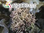 Lithophyllum moluccense f. pygmaeum (Heydrich) Foslie