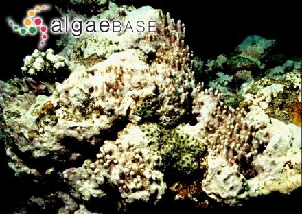 Punctaria fissilis Setchell & N.L.Gardner