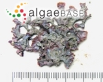 Mastophora rosea (C.Agardh) Setchell