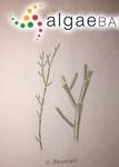 Cladophora aegagropila var. brownii (Dillwyn) Rabenhorst