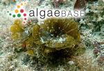 Syringoderma abyssicola (Setchell & N.L.Gardner) Levring