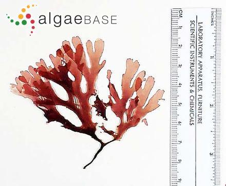 Cryptopleura violacea (J.Agardh) Kylin