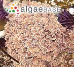 Corallina pinnatifolia (Manza) E.Y.Dawson