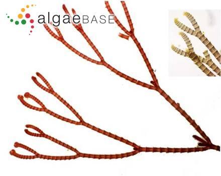 Navicula soehrensis Krasske