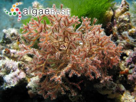 Fallacia pygmaea (Kützing) Stickle & D.G.Mann