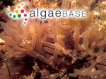 Amphiplexia hymenocladioides J.Agardh
