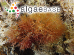Amansia serrata (Harvey) Womersley