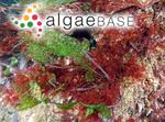 Acrosorium ciliolatum (Harvey) Kylin