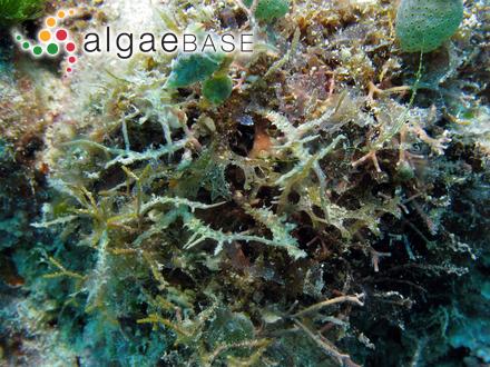 Stauroneis gracilis Ehrenberg
