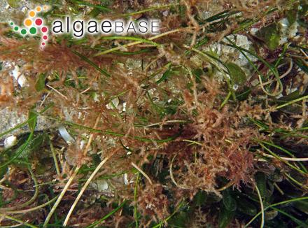 Cyclotella antiqua W.Smith