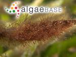 Anotrichium tenue (C.Agardh) Nägeli
