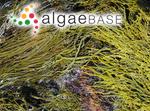 Fucodium gladiatum (Labillardière) J.Agardh