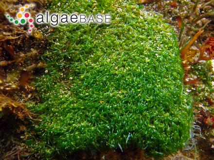 Grammatophora marina (Lyngbye) Kützing