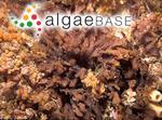 Thamnoclonium dichotomum (J.Agardh) J.Agardh
