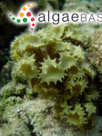 Turbinaria ornata (Turner) J.Agardh