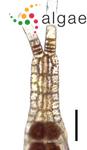 Taenioma perpusillum (J.Agardh) J.Agardh