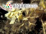 Turbinaria gracilis Sonder