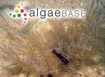 Rytiphlaea australis (Montagne) Endlicher