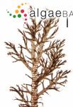 Polysiphonia decipiens Montagne