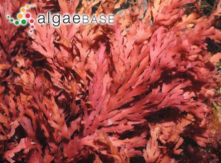 Surirella striatula var. algensis Playfair