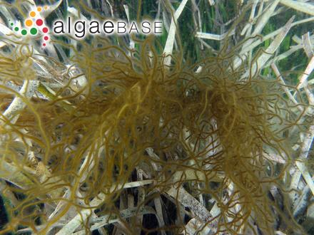 Tabellaria grandis Kützing