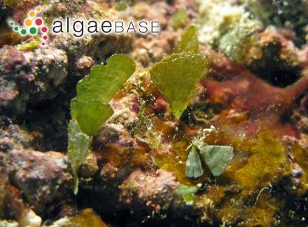 Phaeococcus planctonicus West & G.S.West