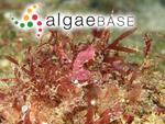 Rhodymenia leptophylla J.Agardh