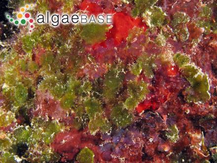 Phaeosphaera gelatinosa West & G.S.West