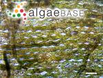 Rhipiliopsis gracilis Kraft