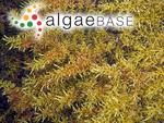 Sargassum tristichum Sonder