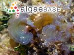 Stypopodium flabelliforme Weber Bosse