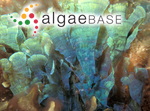Stypopodium australasicum (Zanardini) Allender & Kraft