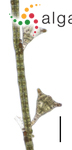 Sphacelaria tribuloides Meneghini