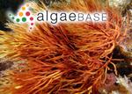 Rhabdonia robusta (Greville) J.Agardh