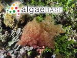 Kallymenia maculata Weber Bosse