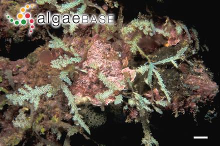 Rytiphlaea compressa J.Agardh