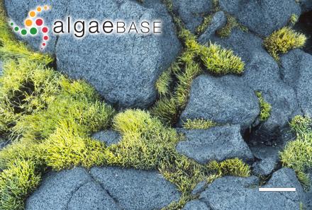 Polysiphonia corymbifera (C.Agardh) Endlicher